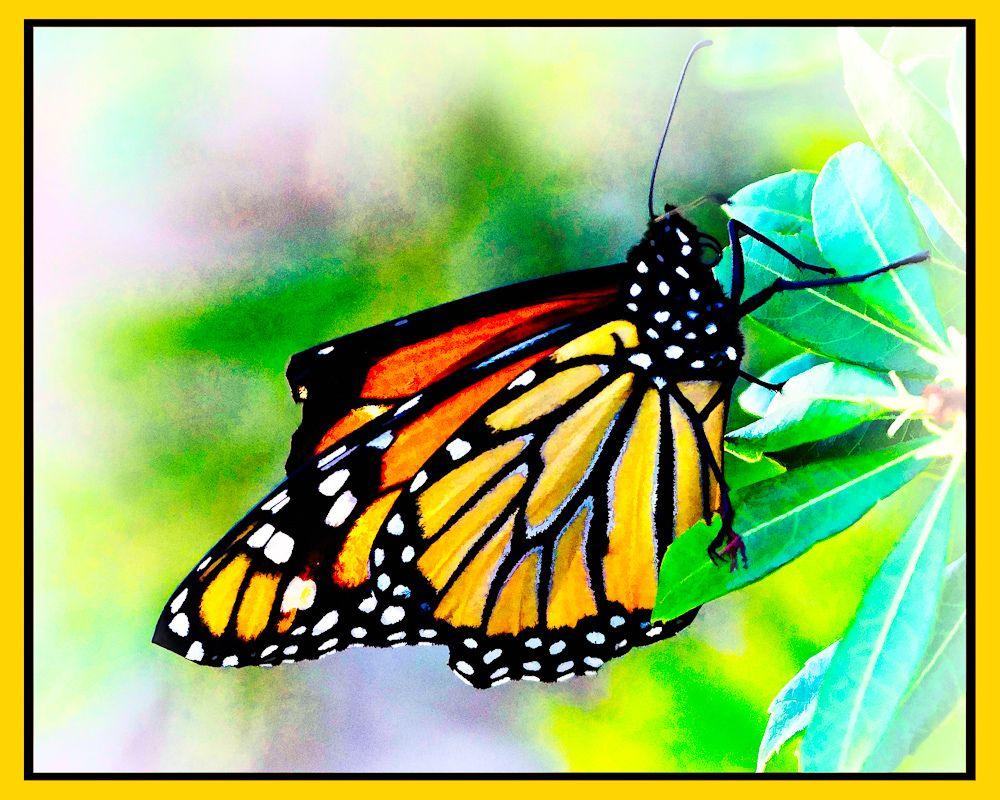Butterfly on star gazer lily (My garden 2011)   Beautiful