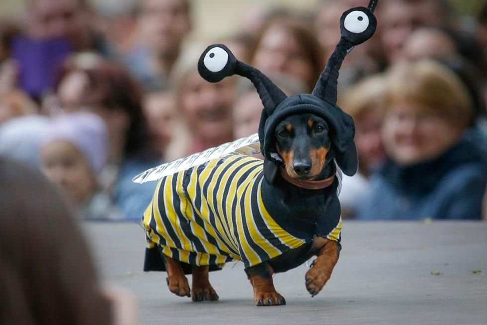 From The 5th Annual Dachshund Parade In St Petersburg Dog