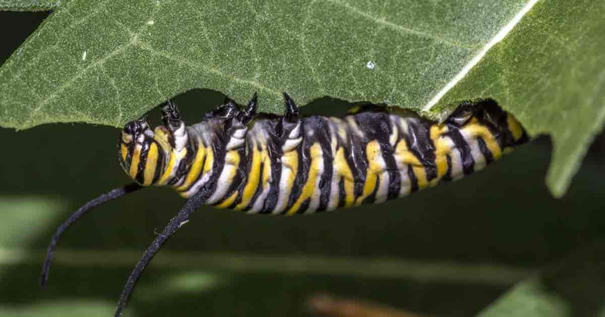How To Get Rid Of Caterpillars Eating Leaves In The Garden