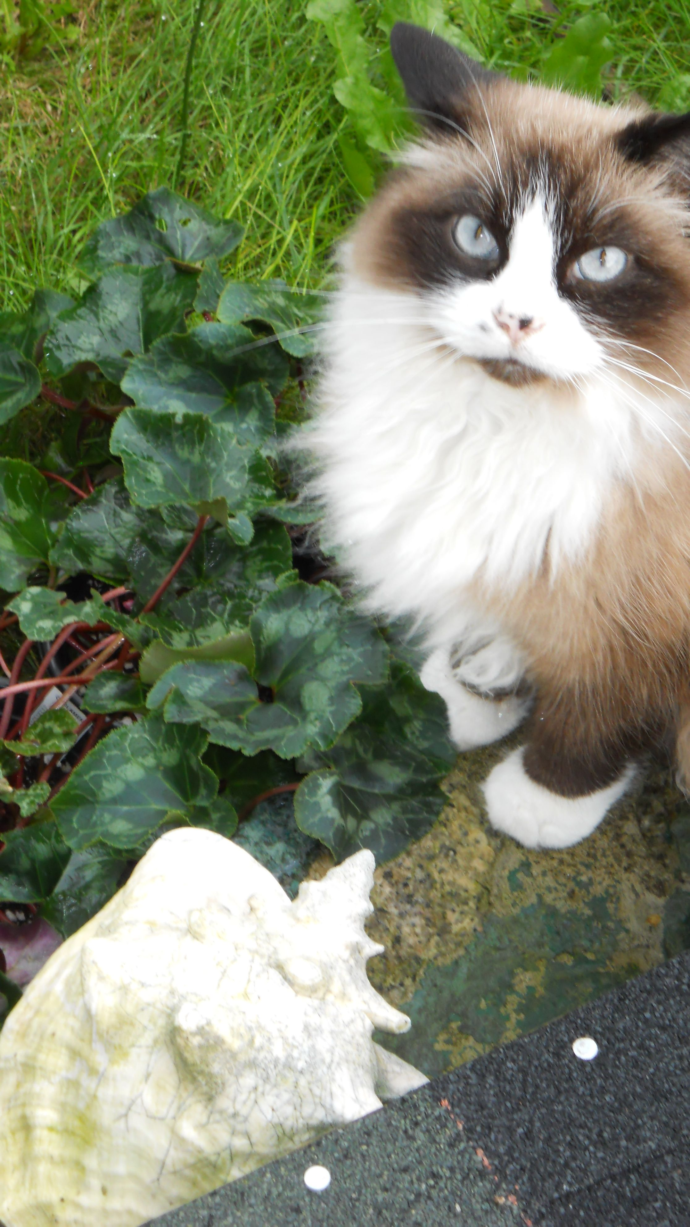 Long Haired Snowshoe Siamese He S A Handsome Boy Snowshoe Cat American Shorthair Cat Cute Cats