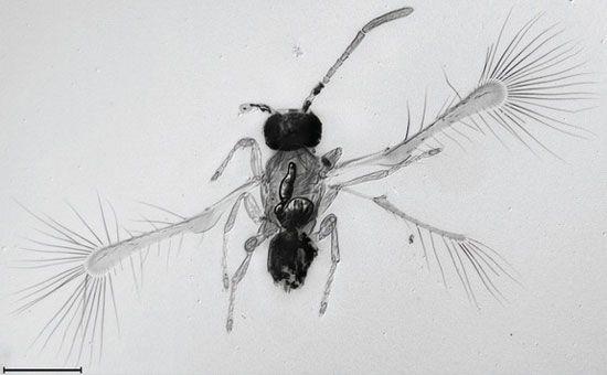 Côn trùng bé nhất thế giới - Loài ruồi tiên.   Công Ty Diệt Côn Trùng