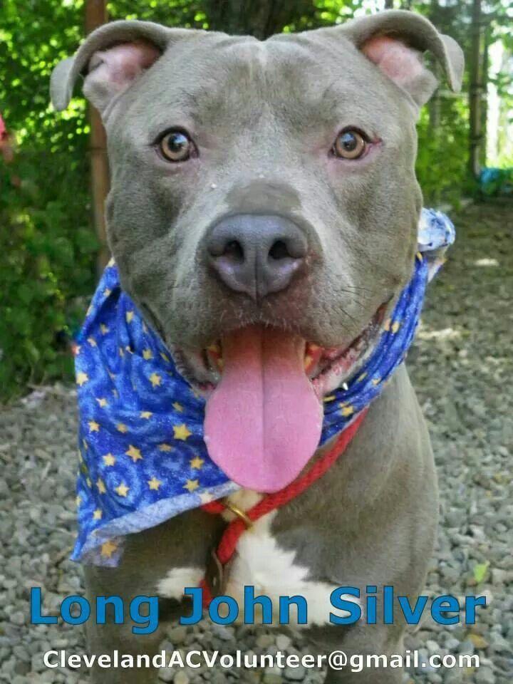 Pin By Karen On Pitbulls Staffie Bullies Kitten Adoption Pets Pitbull Terrier