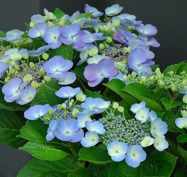 Blueberries And Cream Gift Hydrangea Hydrangea Garden Plants Botanical Gardens