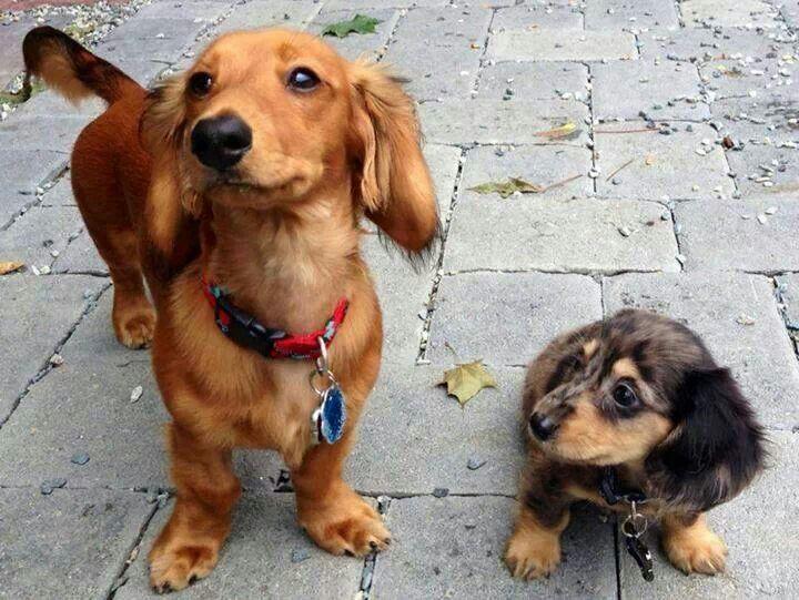 Pin By Ann Ogden On So Cute Dachshund Puppies Animals Weenie Dogs