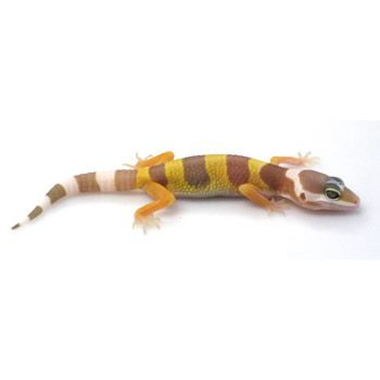 leopard gecko at petco lizards and frogs pinterest reptiles