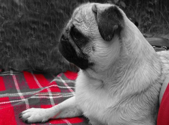 Can dogs see colors? Get the answer, here--> http://www.pugworldtrip.com/en/tonys-blog-and-news/dog/did-you-know/can-dogs-see-colors.html