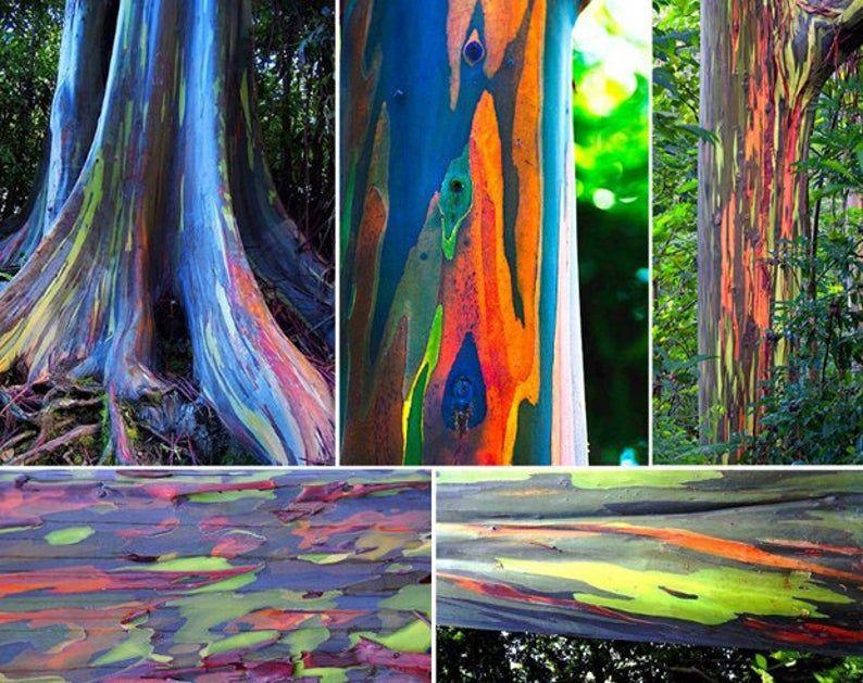 Rainbow Eucalyptus Deglupta 20 Seeds Multi Hued Bark Colorful