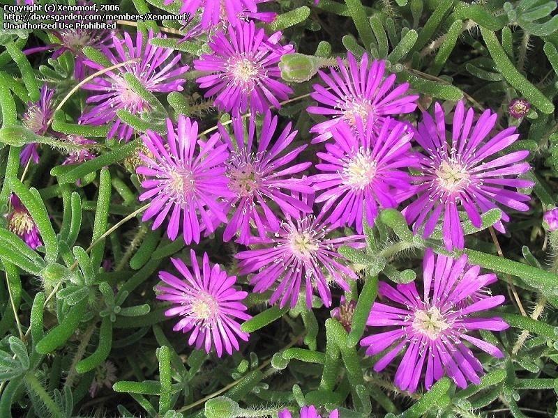 Drosanthemum floribundum | HERBARIO ORNAMENTAL