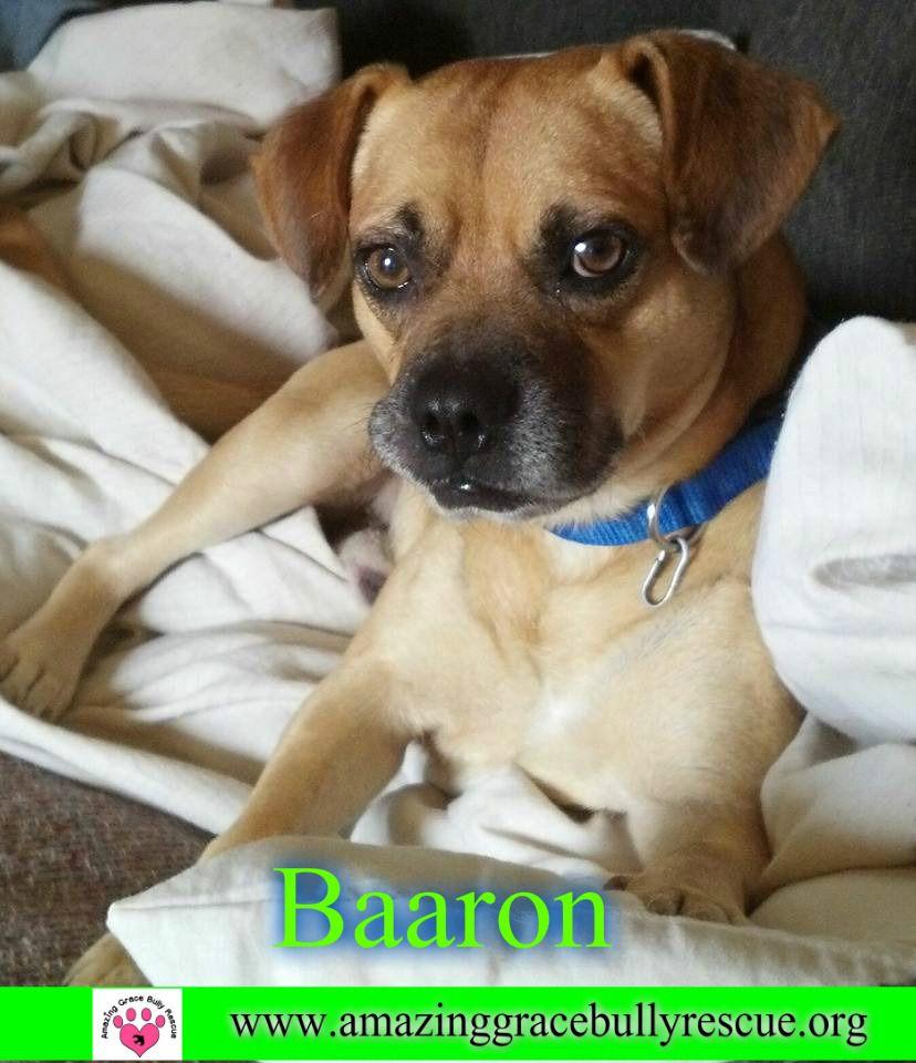 Puggle Dog For Adoption In Pensacola Fl Adn 774922 On