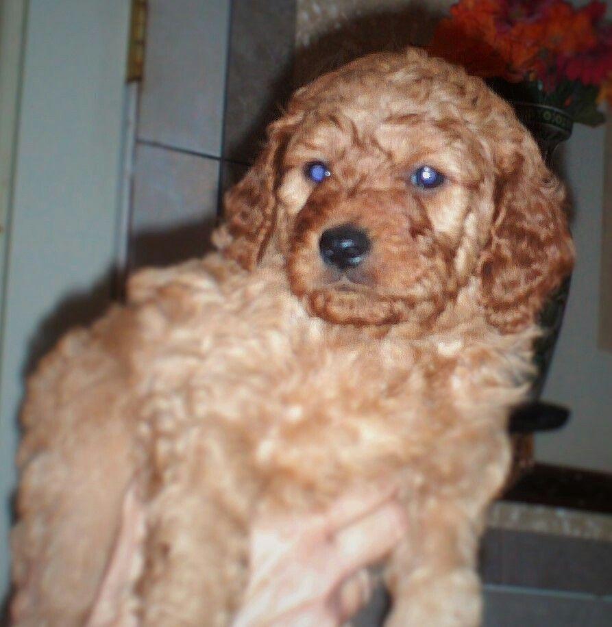 male mini irish doodle puppy