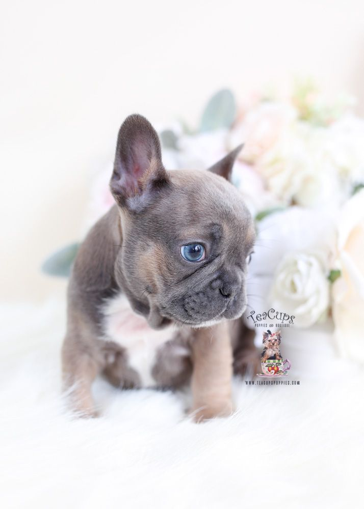 Blue Fawn French Bulldog Puppy For Sale Teacup Puppies 062 A Blue French Bulldog Puppies Bulldog Puppies French Bulldog Puppies