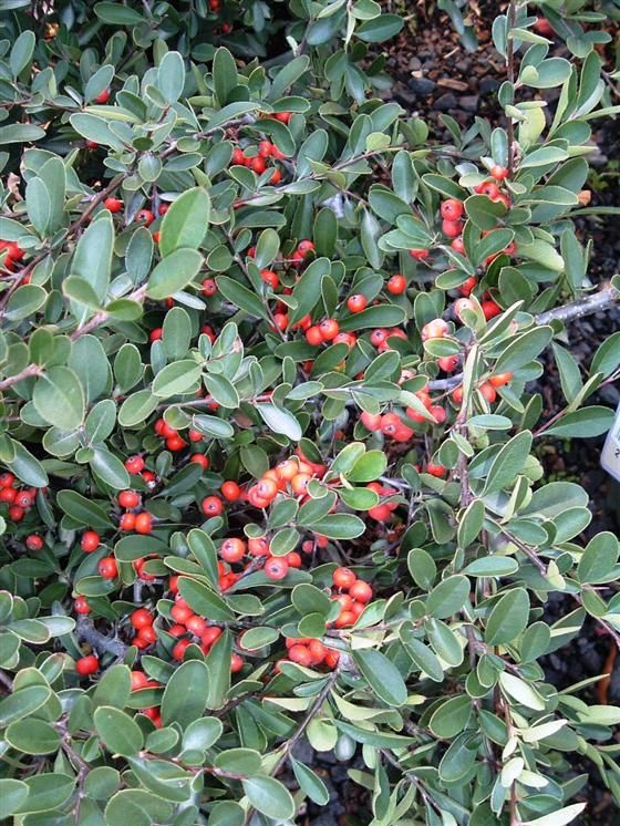 Red Elf Pyracantha Compact Evergreen Shrub With Small Flowers In