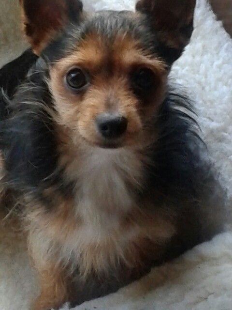 Chihuahua Yorkie Mix Chorkie Chihuahua Mix Puppies Cute