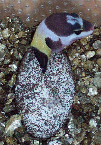 Hatchling Leopard Gecko Care | The Gecko Spot | Leopard ...Leopard Gecko Hatchling Care