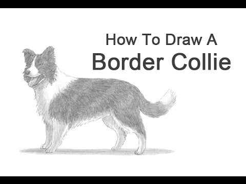 How To Draw A Dog Border Collie Border Collie Art Collie Border Collie