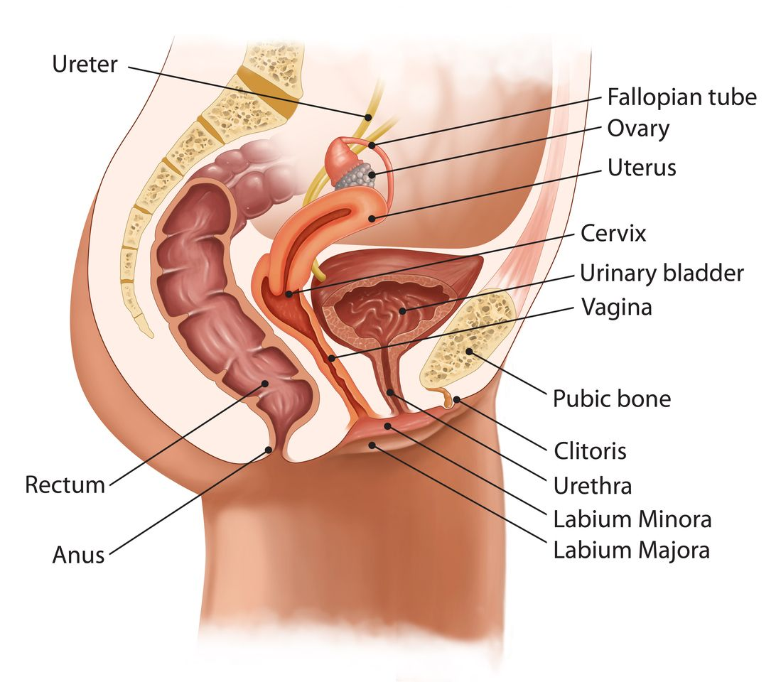 Анатомия И Секс Людей