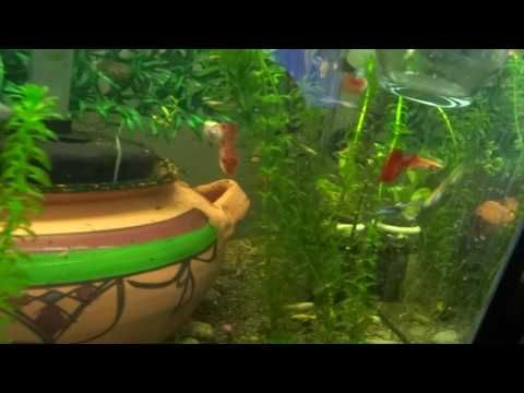 Guppies Fish Mating X7 Guppy Fish Guppy Tank Wallpaper