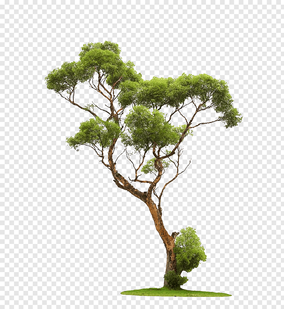 Tree Graphy Trees Green Leafed Tree Free Png Potted Palm Trees Bonsai Tree Palm Tree Background