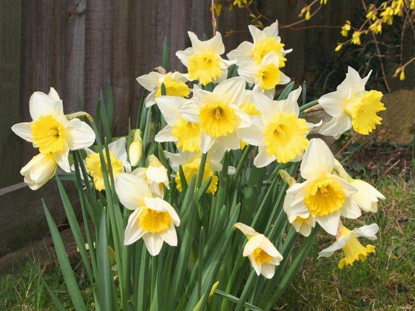 El narciso es una planta que pertenece a la familia de las ...