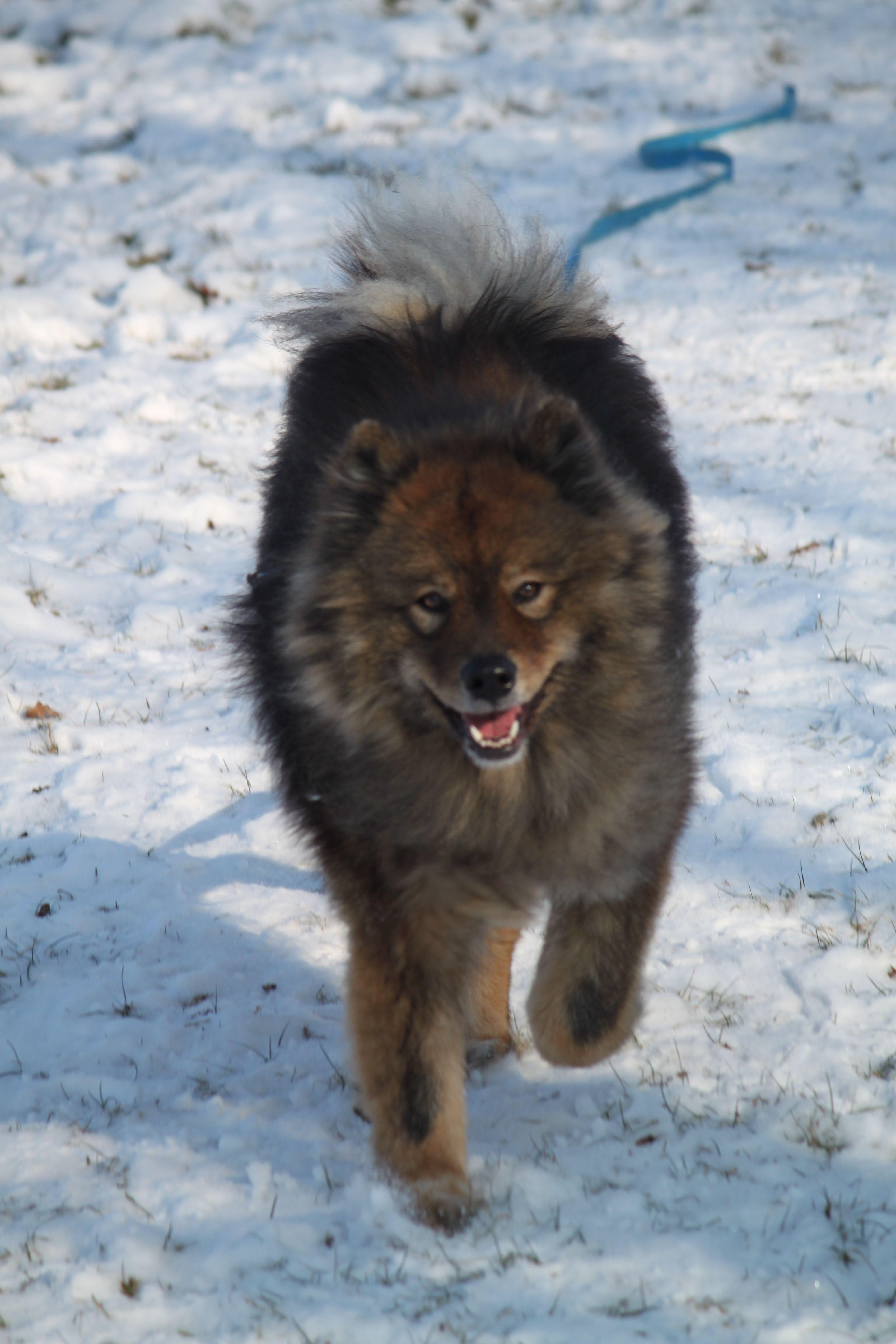 Arisha Eurasier Pawshake Dog list, Dog lovers, Teddy