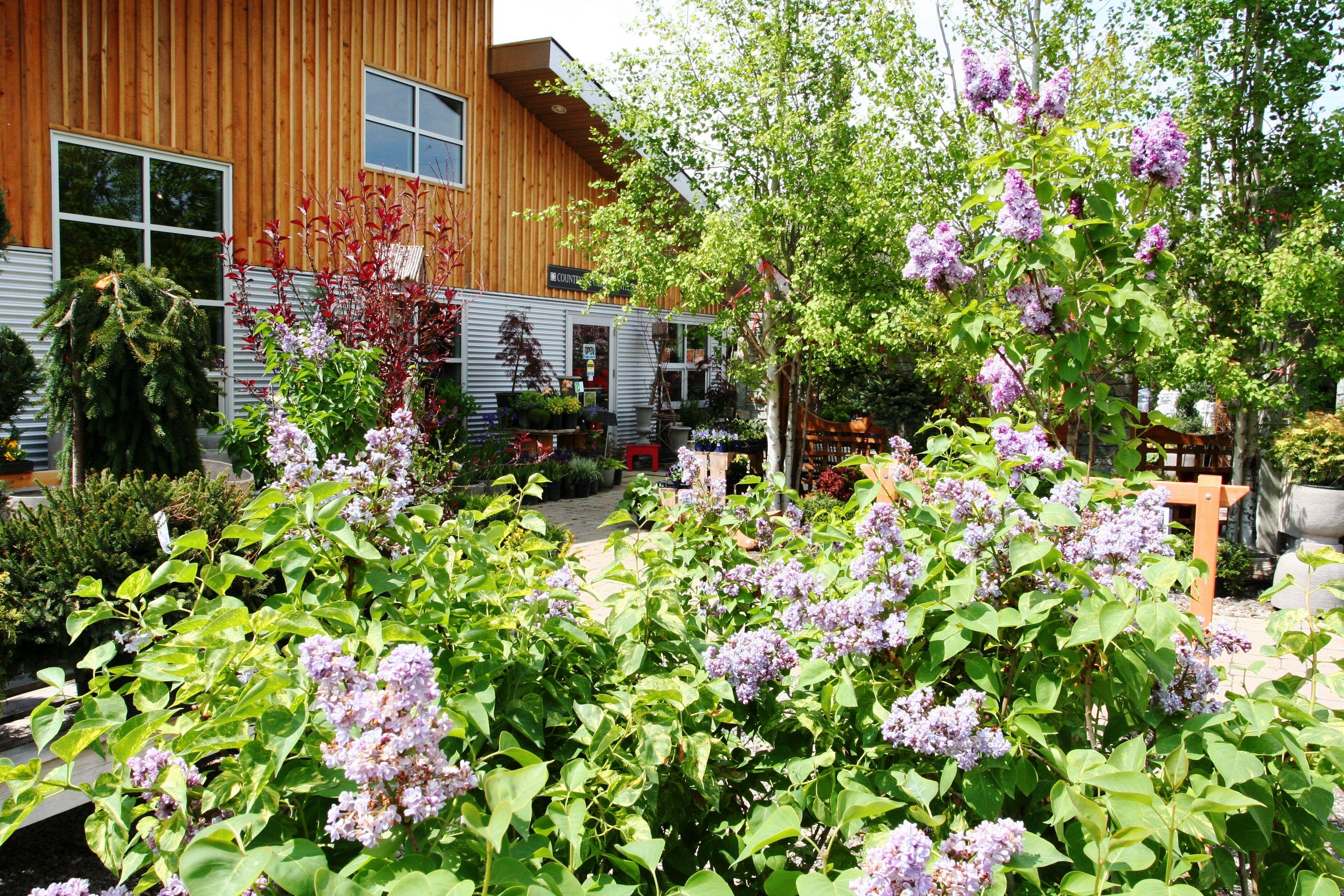 Lilacs In Bloom At Countryside Garden Centre Garden 400 x 300