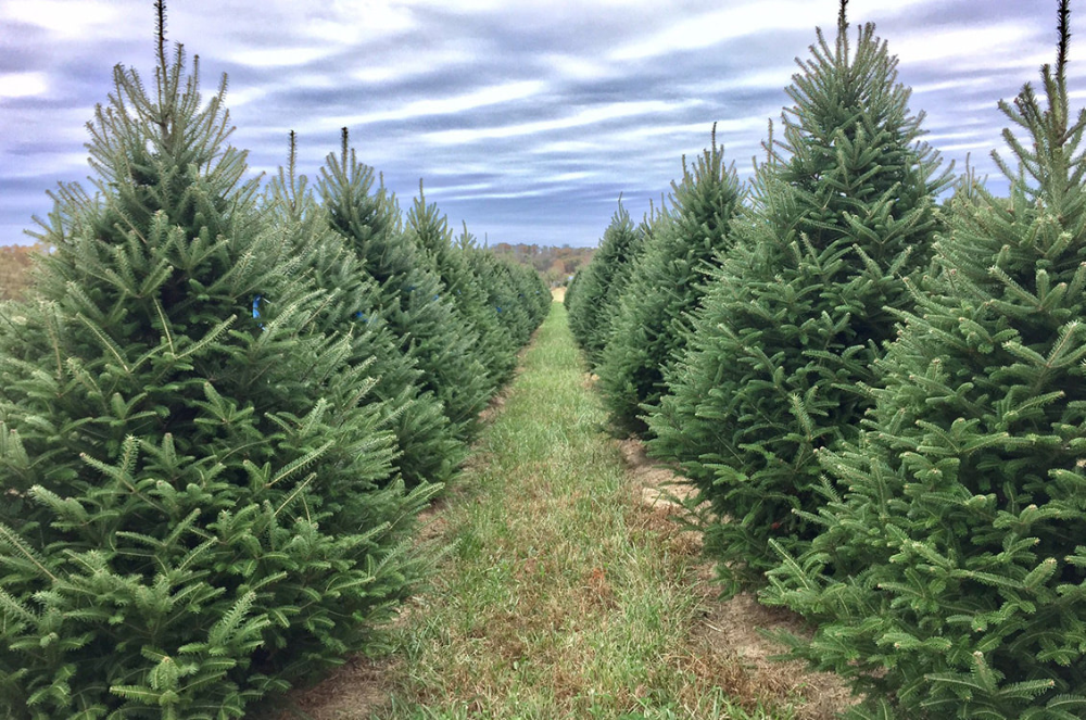 Heritage Valley Tree Farm Missouri Grown Christmas Trees And Pecans In 2020 Christmas Tree Farm Tree Farms Cool Christmas Trees