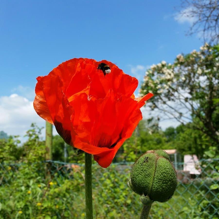 Der Garten Von Unserem Kollegen Markus Ein Gemuse Und Blumen Paradies Meineernte Mohnblume Bumblebee Gartenarbeit Gemuseparad