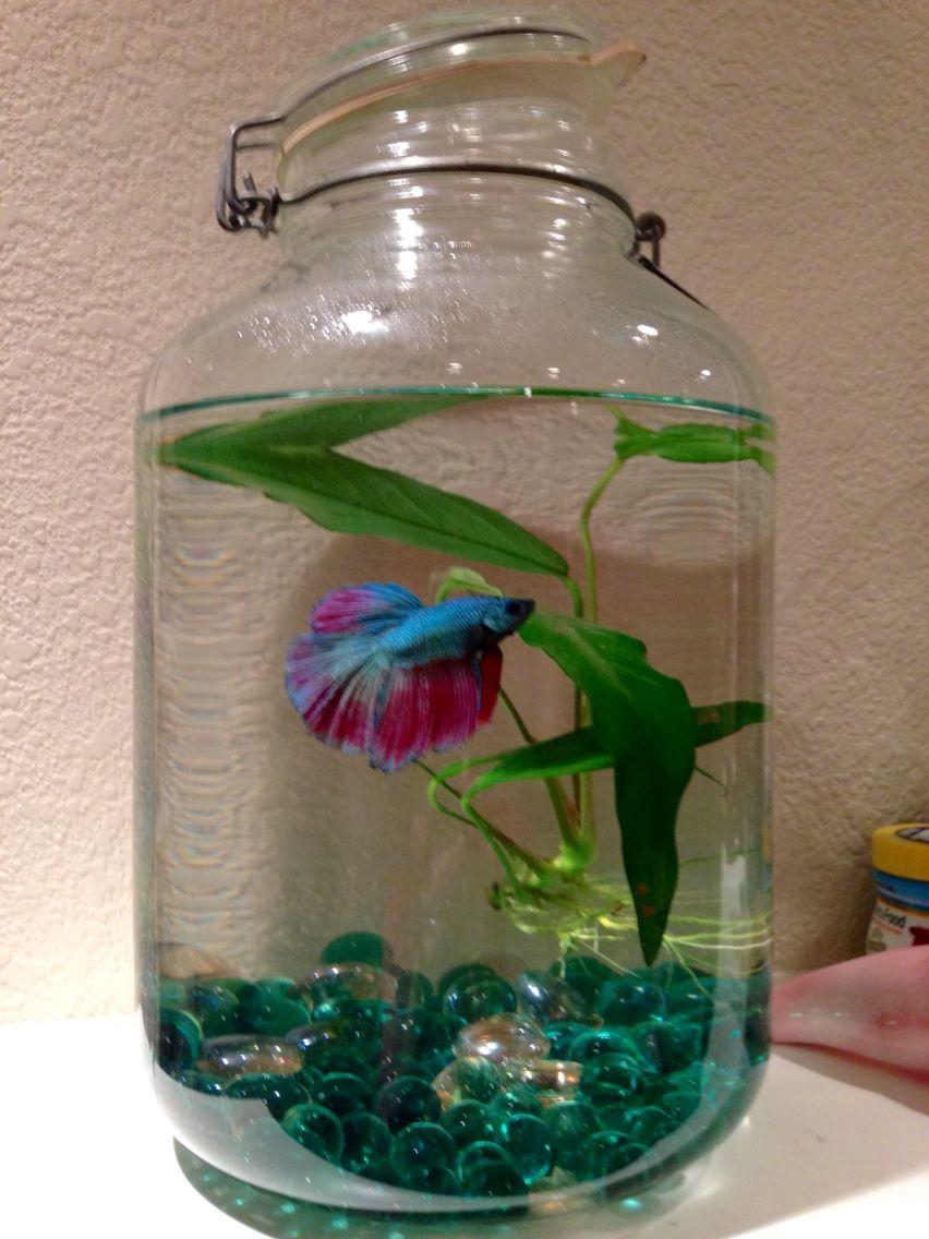 Upcycled Pickle Jar Into A Fish Bowl Meet Frilly Dilly My New Betta Diy Fish Tank Betta Fish Bowl Fish Tank