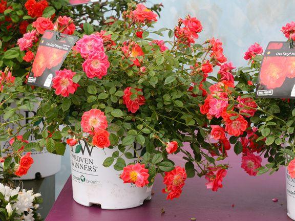Simple Rose Garden: Rosa OSO Easy 'Mango Salsa'