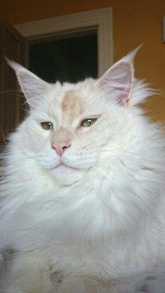 Maincoon cat