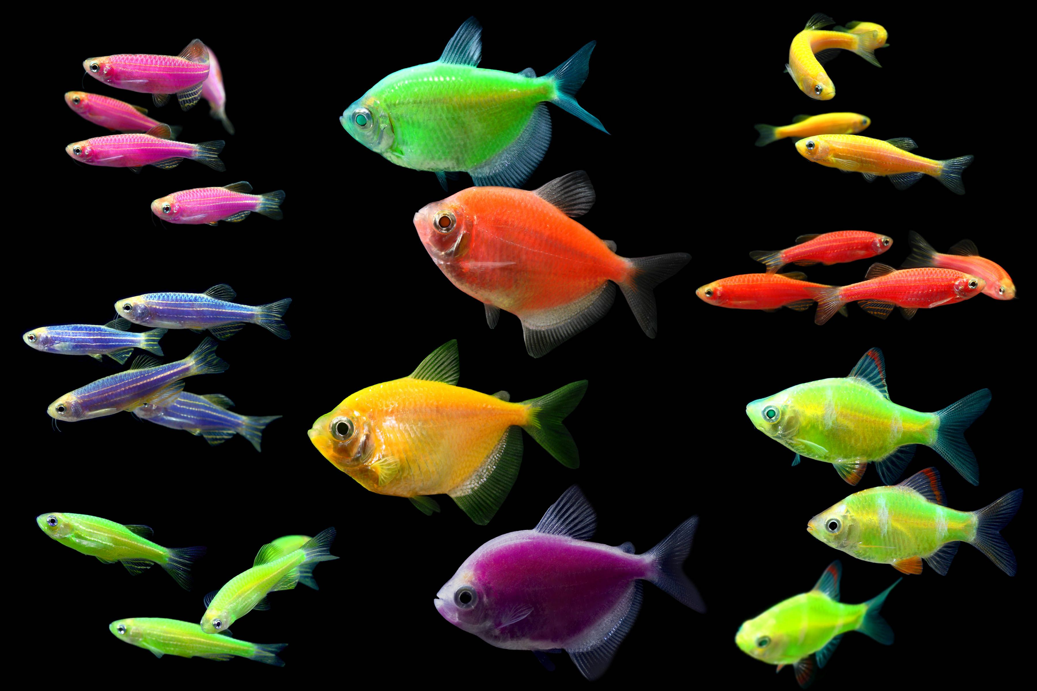 What 39 s your favorite type of glofish glofish tetras for What color are fish