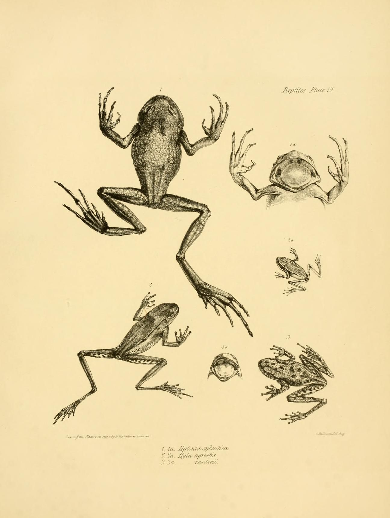 Hylonia And Hyla The Zoology Of The Voyage Of H M S Beagle