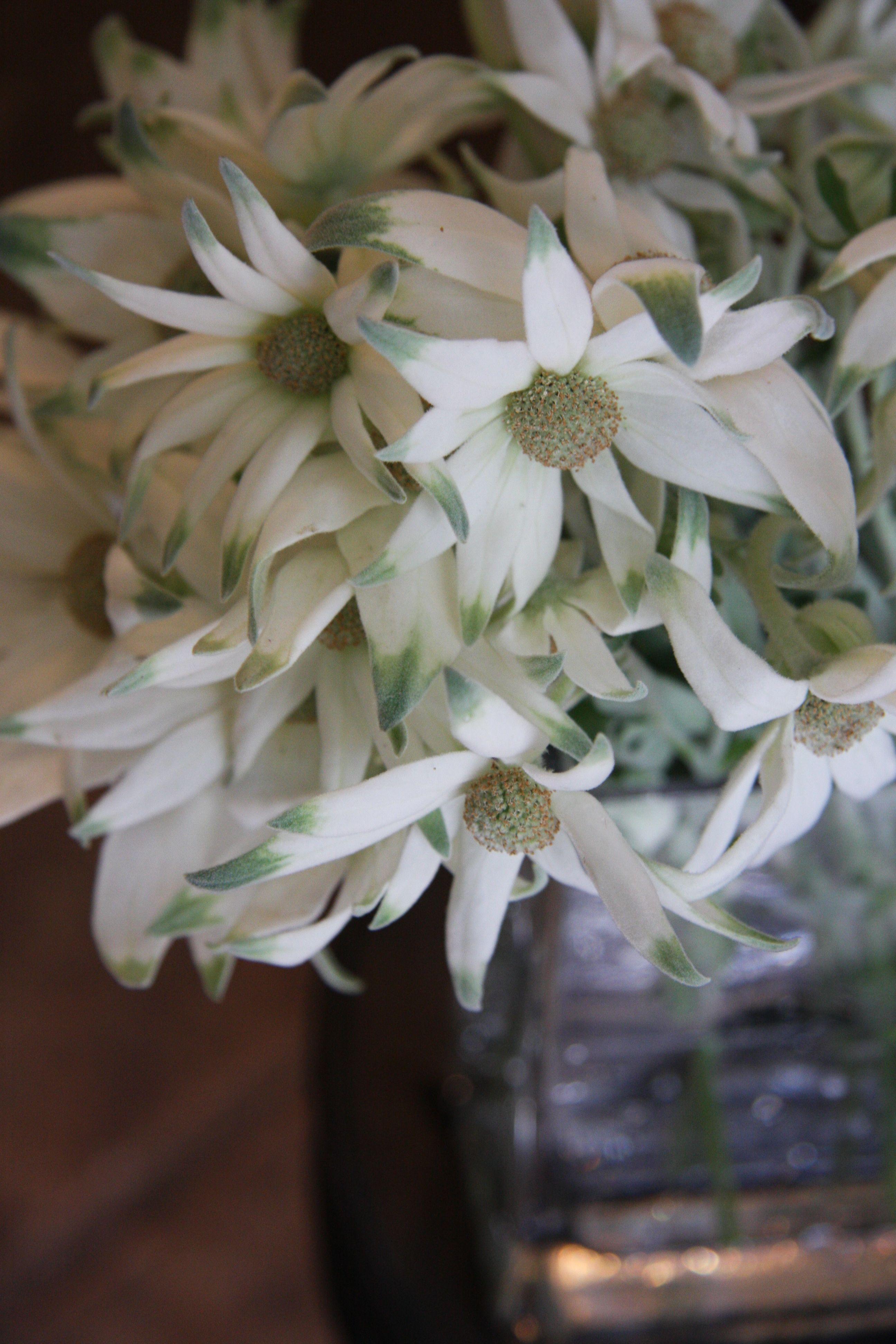Flanel Flower Types Pinterest Flower Flowers And Australian