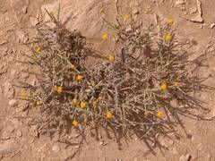 Desert plant of aster family with yellow flowers Pulicaria undulata (Kootkaat, Rabool, Rabl, Rabd, Ghobbeira, Ghobbayra-a, Shaay gabali) in area of dunes near Harrarah