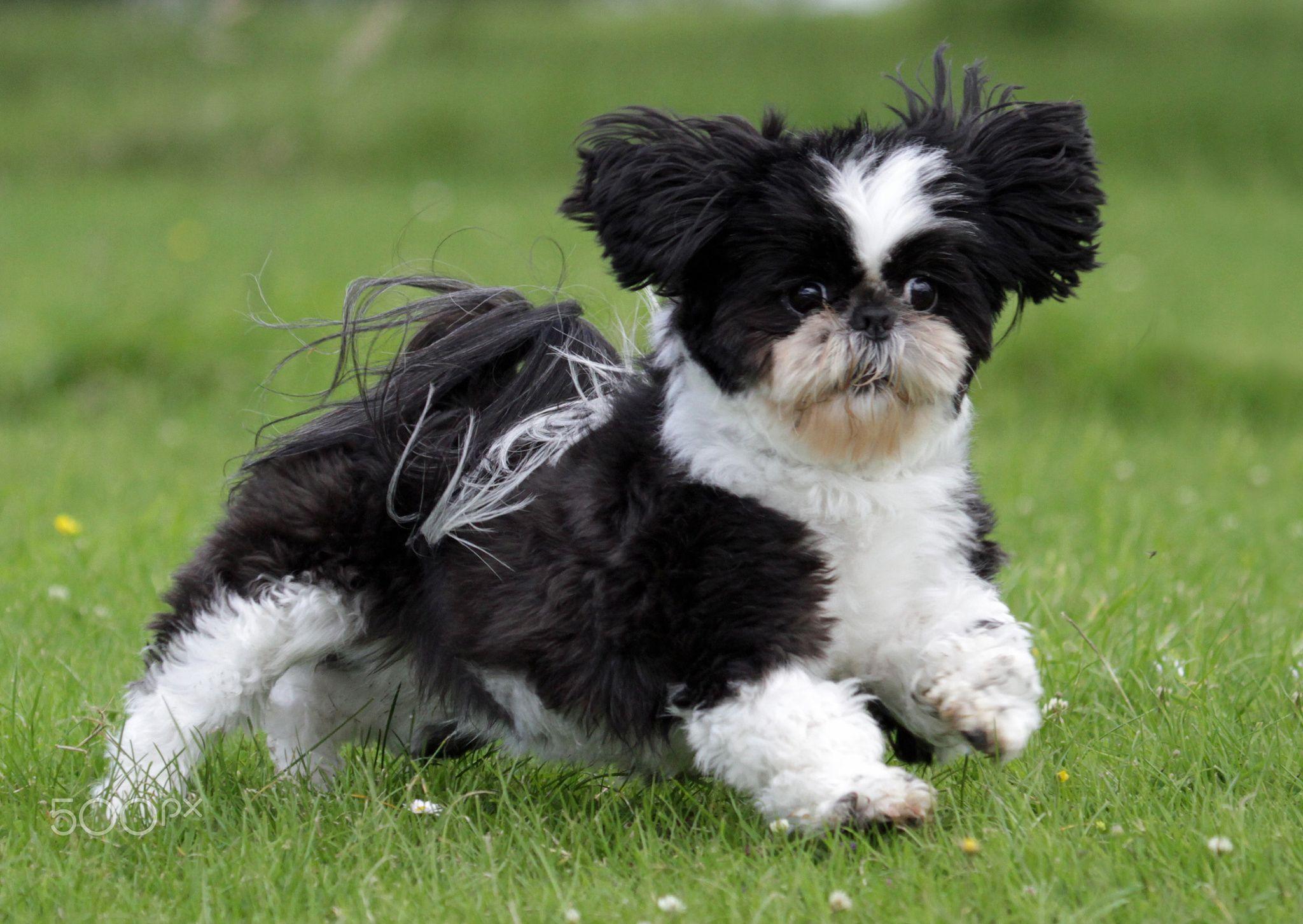 Shih Tzu Shih Tzu Shitzu Puppies Dogs