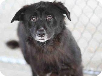 Tallahassee, FL - Flat-Coated Retriever. Meet DARBY, a dog for adoption. http://www.adoptapet.com/pet/13865003-tallahassee-florida-flat-coated-retriever