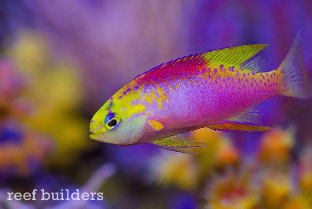Behind The Face Of Liveaquaria Kevin Kohen S Fish Collection Part 1 Marine Fish Mandarin Fish Fish