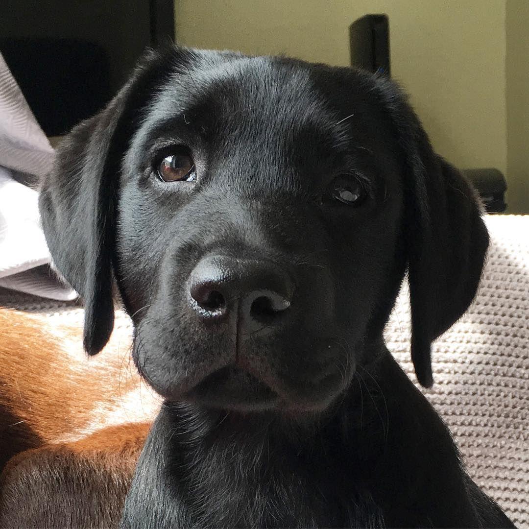 "Photo of 🐾 Carter Family Labradors 🐾 en Instagram: ""Nivel atractivo: devastador #BabyFinnDose"""