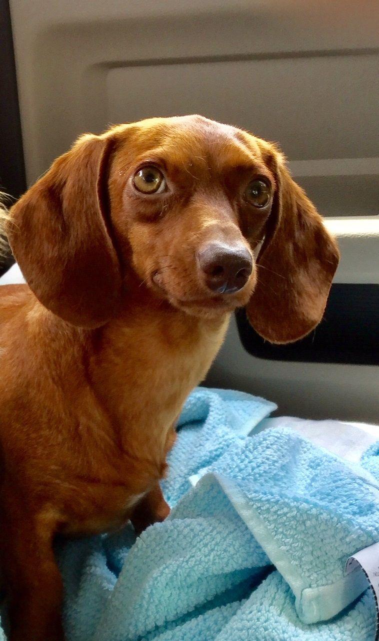 Dachshund dog for Adoption in Pearland, TX. ADN824141 on