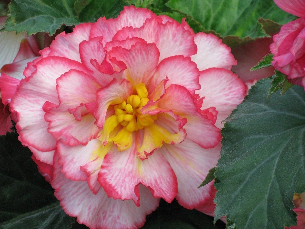 Growing Begonias From Corms Flower Pots Plants Beautiful Flowers