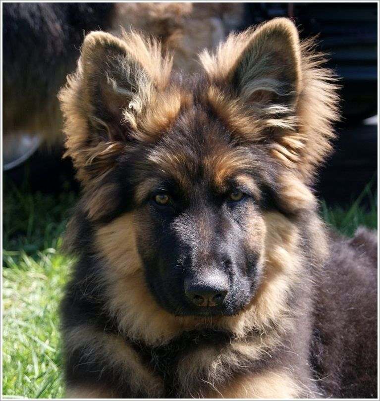 Dogs LongHaired German Shepherd puppy, from Crooked