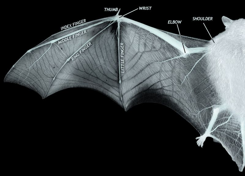 bat ray diagram diagram showing the structure of bat wing: a thin membrane ...