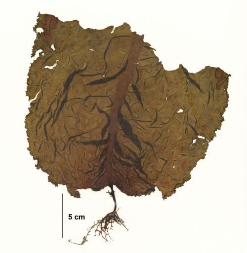 Ochrophyta: Agarum fimbriatum