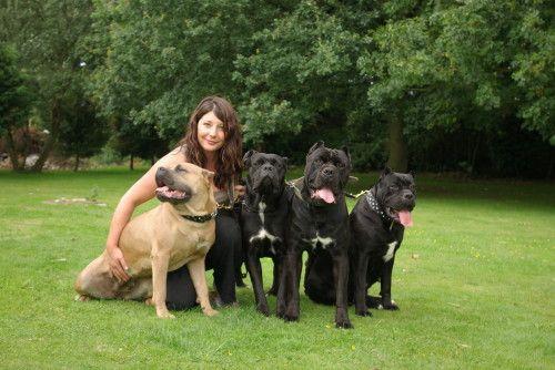 Pics Of Cane Corso Dogs Boleyn Cane Corso Uk Cane Corso Breeders