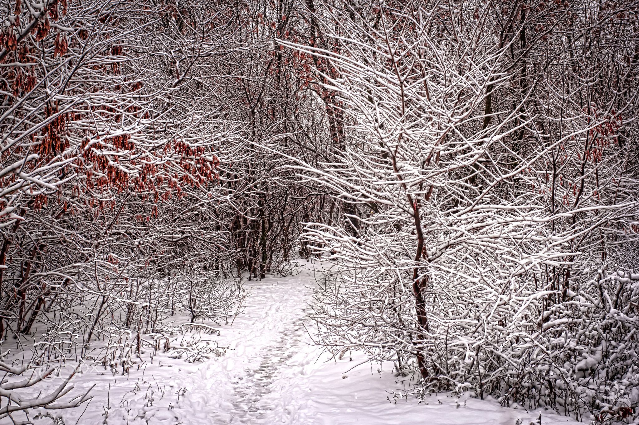 Winter path - Winter path in a forest belt.