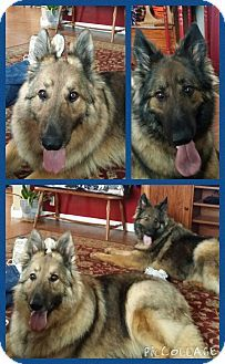 New Albany Oh German Shepherd Dog Meet Gunner A Dog For Adoption Http Www Adoptapet Com Pet 12992809 New Shepherd Dog German Shepherd Dogs Dog Adoption