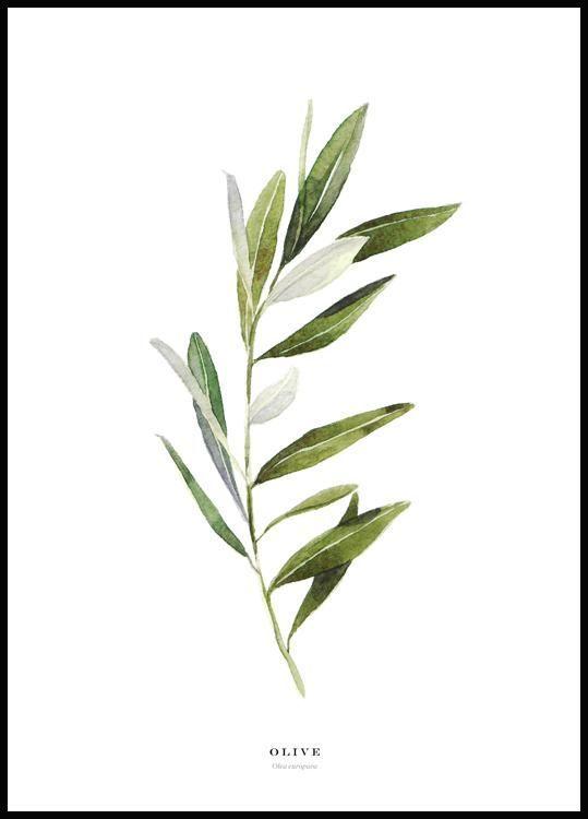 olivier olive aquarelle