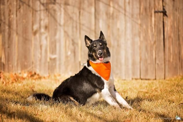 Adopt Radar Adoption Pending On German Shepherd Dogs German