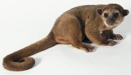 Kinkajou Noisy Nighttime Honey Bear Rainforest animals