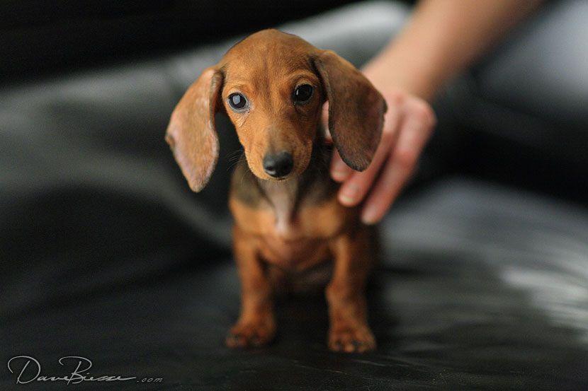Greta The Wiener Dog Dachshund Sausage Dog In Toronto Too